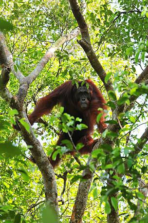 Orangutan, central kalimantan, heart of borneo, Sebangau national park, okta simon
