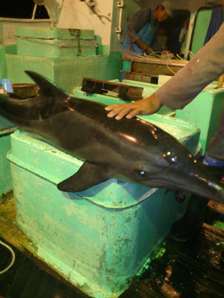 410 Koleksi Gambar Ikan Hiu Paus Lumba Lumba Gratis Terbaik