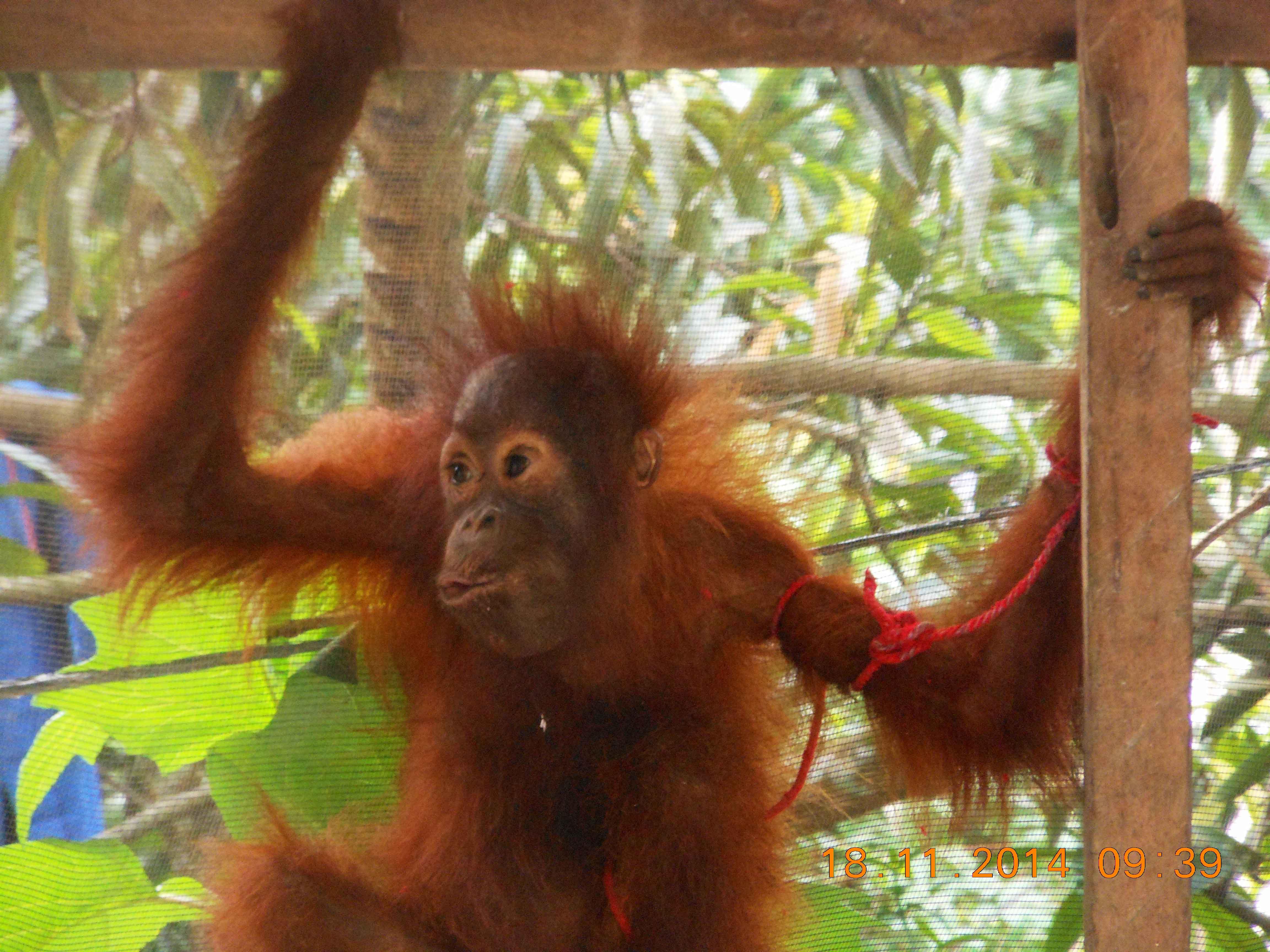 Para Pihak Bergerak Bersama Kampanyekan Selamatkan Orangutan