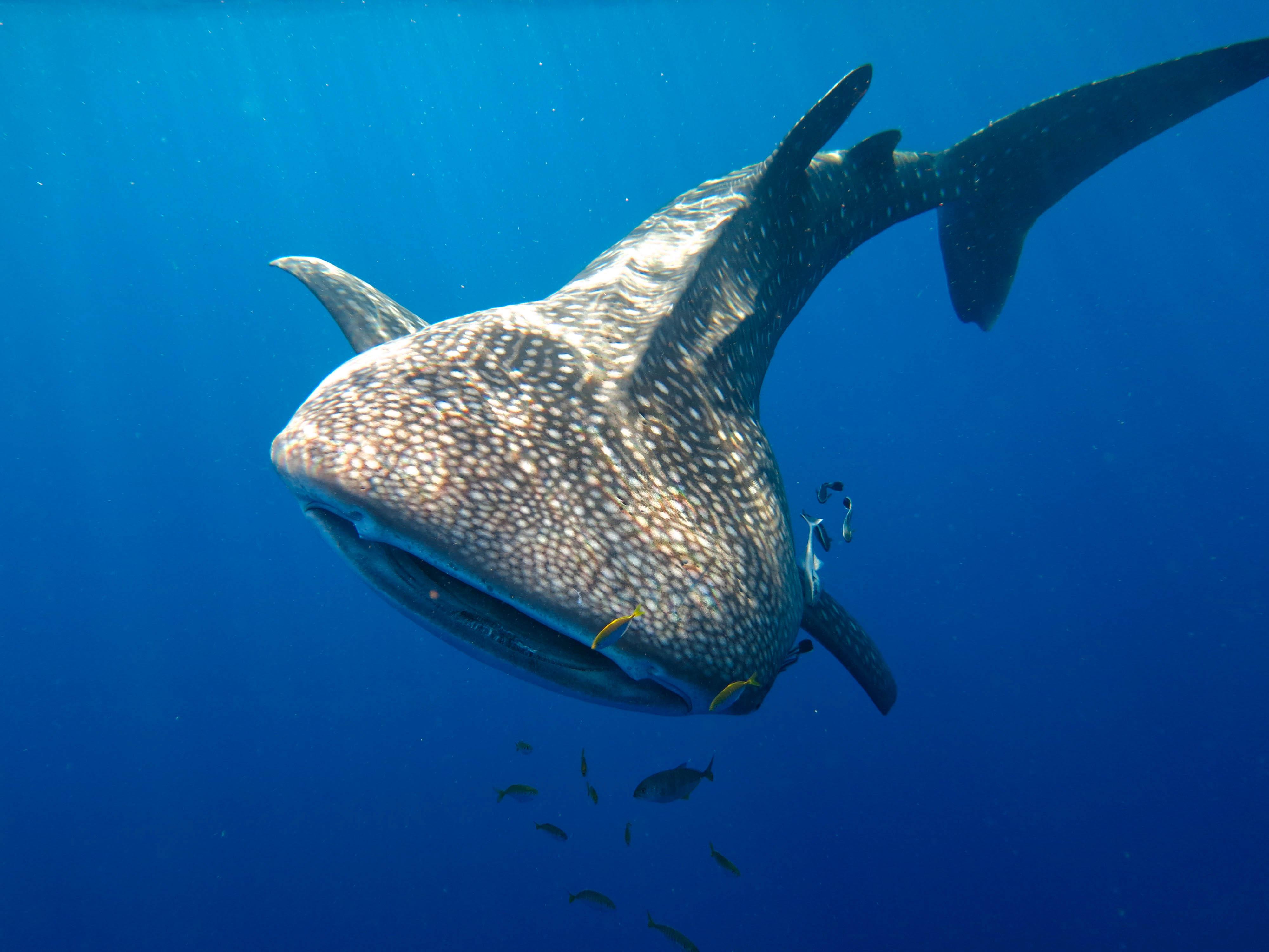 5200 Gambar Ikan Hiu Paus Gratis