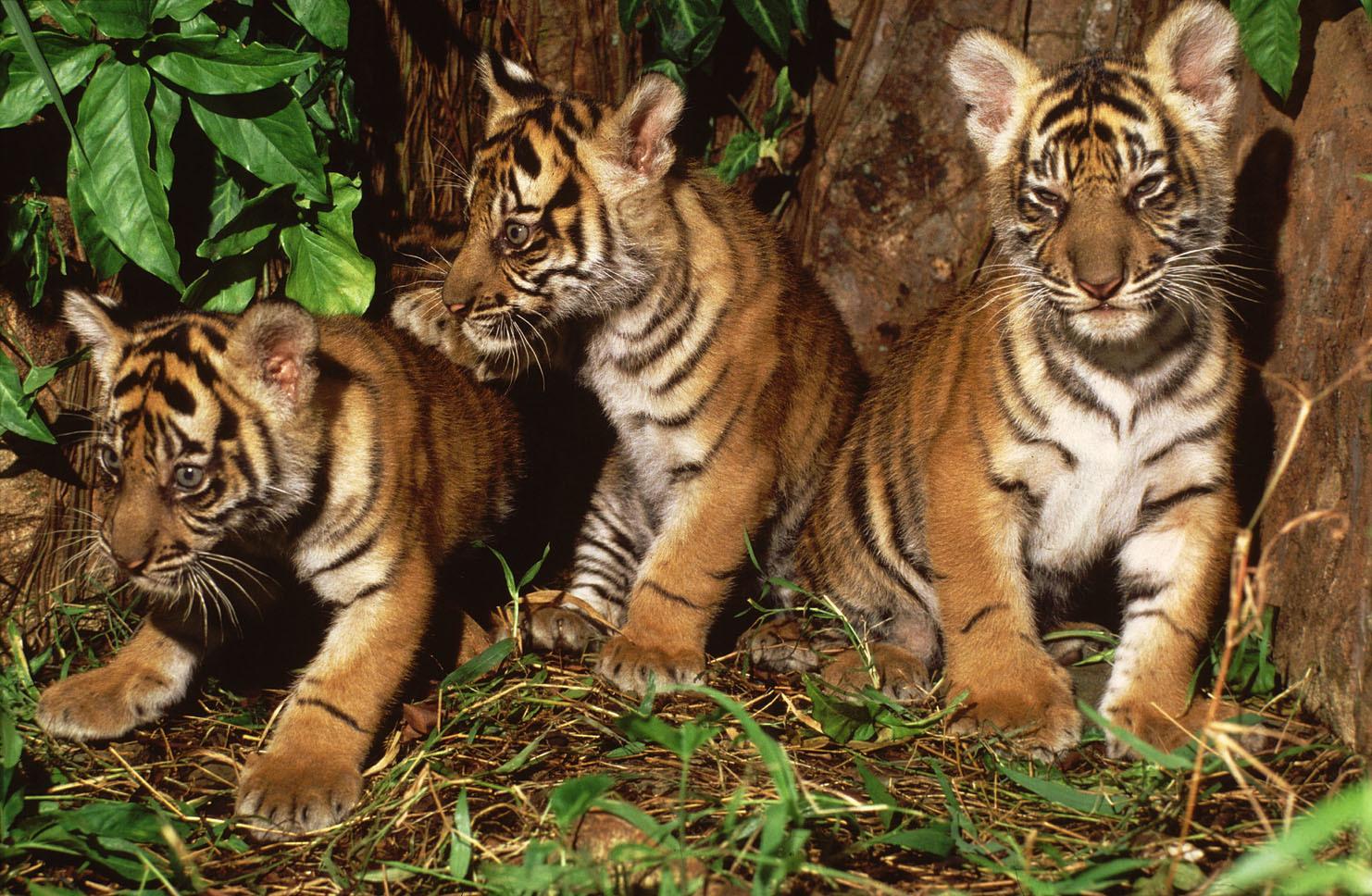 Menjaga Harimau Menjaga Ekosistem Hutan Yang Sehat Wwf Indonesia